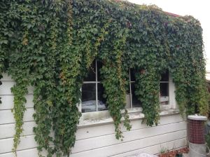 Another example of borrowed landscape - this vine originates two houses away in an overgrown back yard - but for how long?